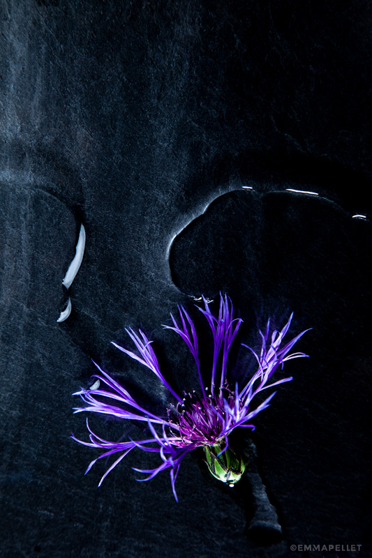 nature-morte-bleuet-photographie-artistique©-emma-pellet