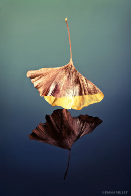art photographie artistique feuille ginkgo biloba photo emma pellet